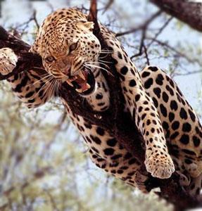 Хищники африки на территории отеля - ягуар
