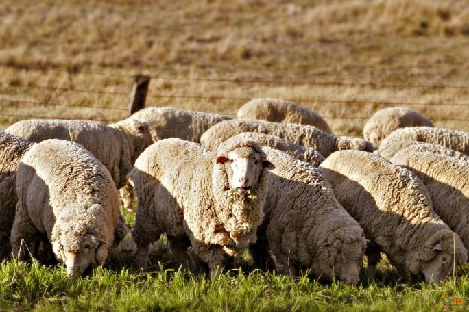 Австралийские овцы