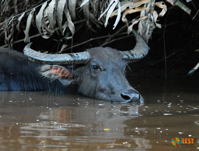 Водный буйвол является целью охотников на севере Австралии