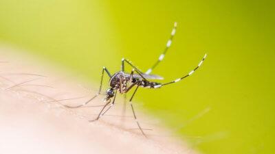 Комар в Тайланде, переносящий лихорадку Денге