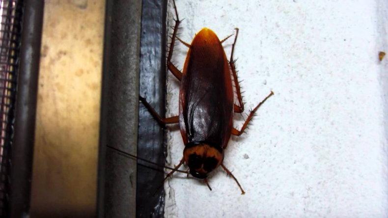 Тараканы в Тайланде