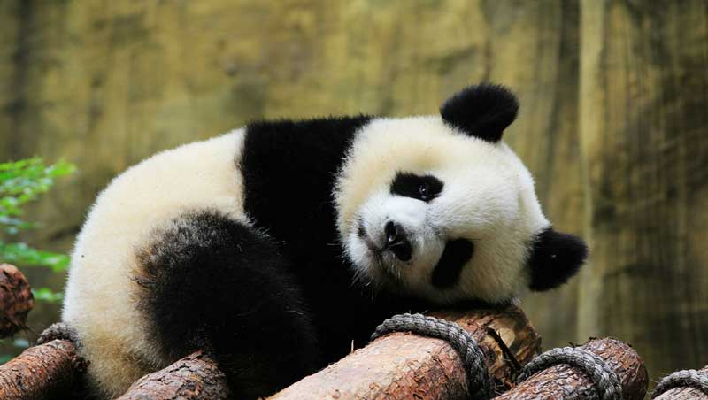 Смешная панда