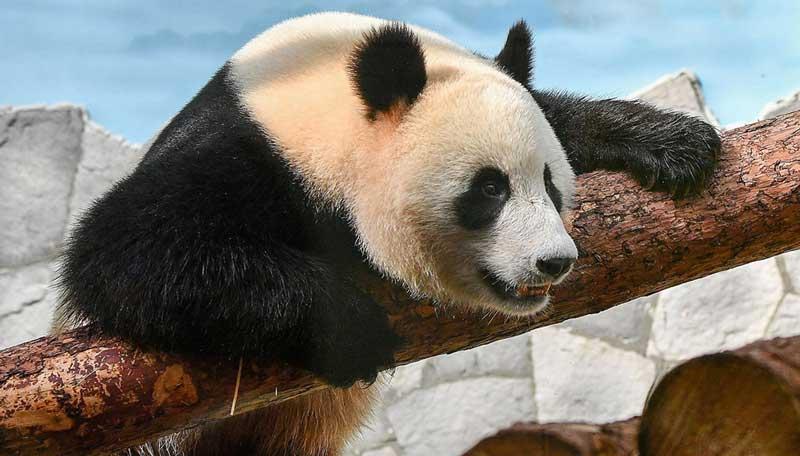 Китайская панда в Московском зоопарке